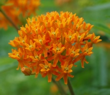 Butterfly_Weed_Asclepias_tuberosa_Umbel